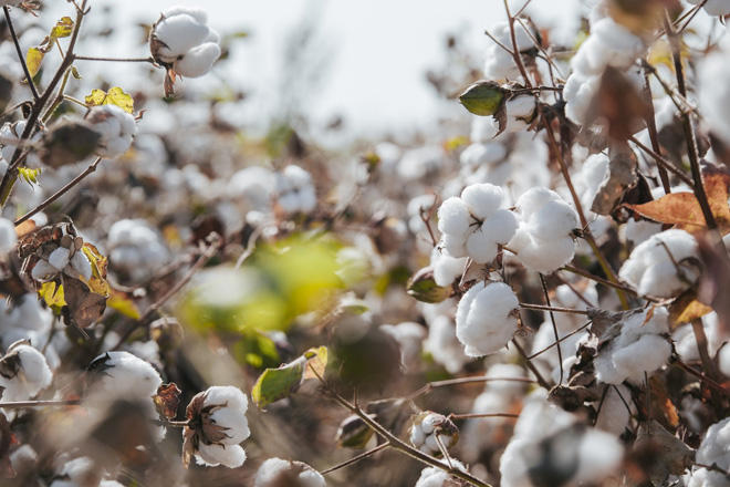 Cotton growing becomes most profitable sector of agriculture in Azerbaijan