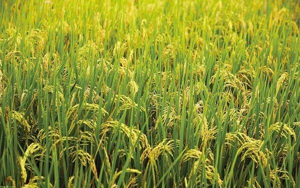 Azerbaijan more than triples five-year production of brown rice