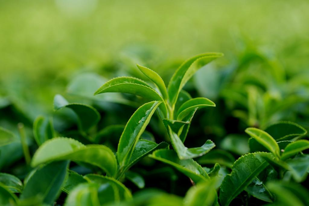 Volume of tea leaves purchased in Iran announced