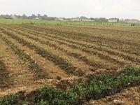 Masallıda yeni çay plantasiyaları salınıb (FOTO) - Gallery Thumbnail