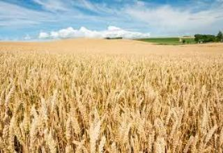 Wheat harvest kicks off in some regions of Turkmenistan