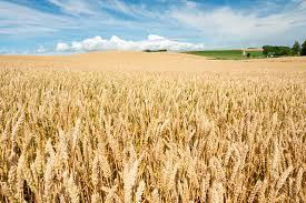 Iran declares volume of wheat purchased in Kerman Province
