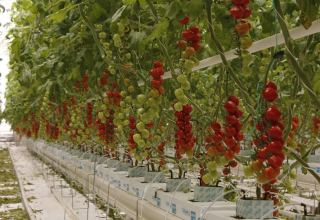 Georgian Greenhouse Corporation continues to produce vegetables at maintenance level