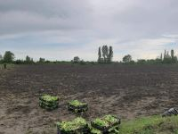 Transplantation of tobacco seedlings to fields starts in Azerbaijan's Zagatala district (PHOTO) - Gallery Thumbnail
