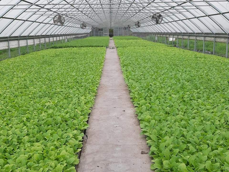Transplantation of tobacco seedlings to fields starts in Azerbaijan's Zagatala district (PHOTO) - Gallery Image