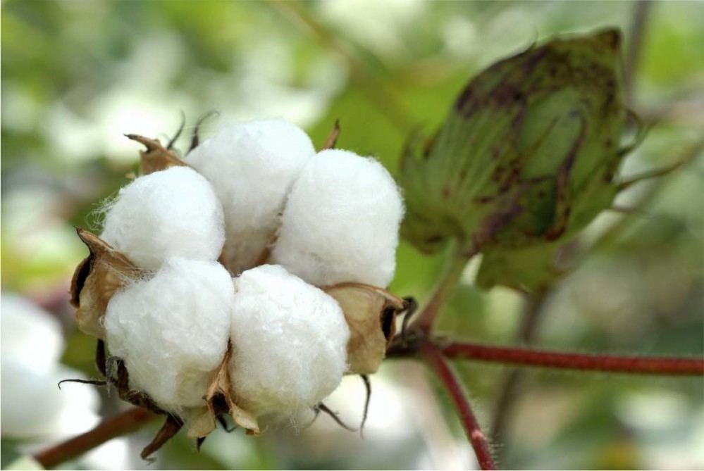 Data on cotton yarn sales at Turkmen State Commodity Exchange for August 2020