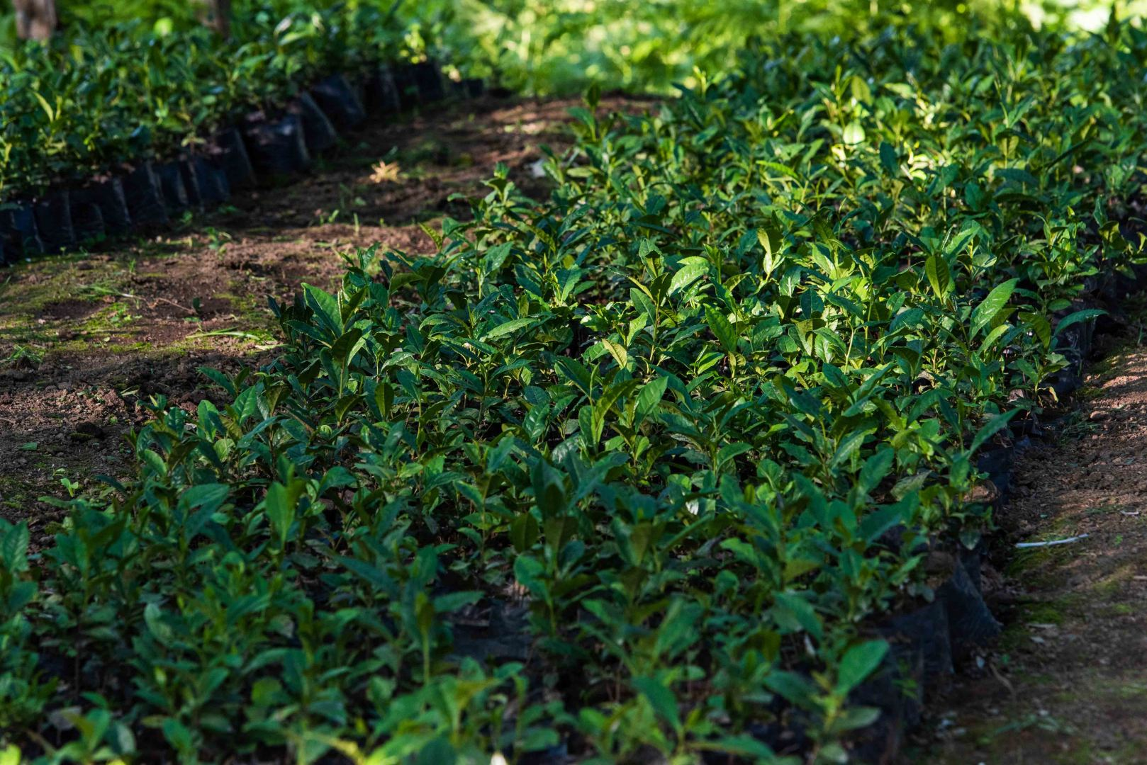 Iran discloses amount of loans issued to tea farmers