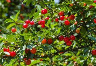 Uzbekistan sends another batch of wild cherries to South Korea