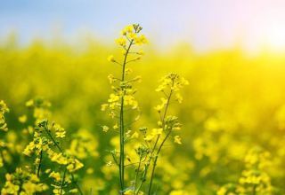 Purchasing of rapeseed from farmers in Iran continues