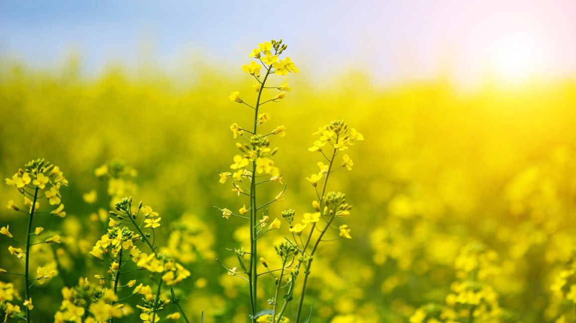 Iran discloses volume of rapeseed to be harvested