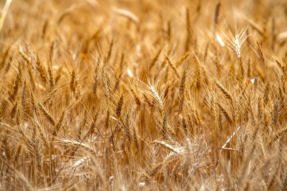 Turkish export of grain, legumes to int'l markets in 1H2020 rises