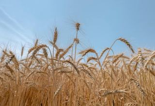 Guaranteed wheat purchasing from farmers in Iran continues