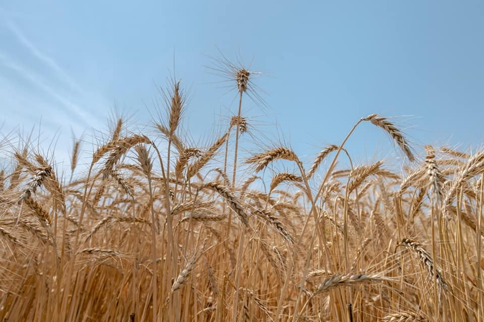 Volume of dry-farming land in Iran increases