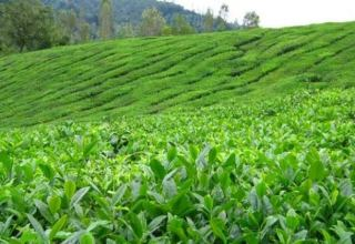 Rehabilitation of tea plantations to enter active phase in 2021 in Georgia