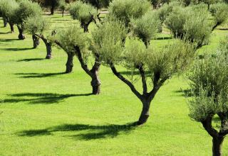 TAP reinstates olive trees, dry stone walls in Italy
