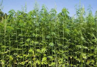 Uzbekistan to set state duty for industrial hemp cultivation