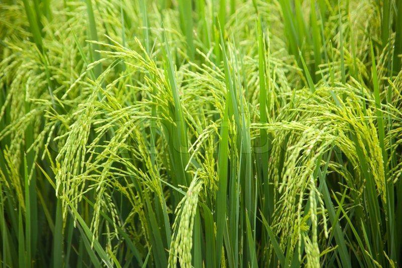 Iran's plan to develop paddy fields fails, farmers demand compensation