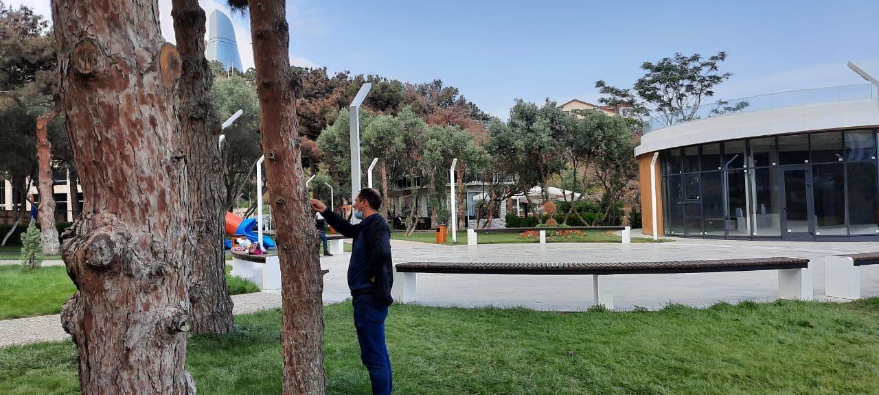 Bakı və Abşeron yarımadasında ağacların quruma səbəbi araşdırılır (FOTO/VİDEO)