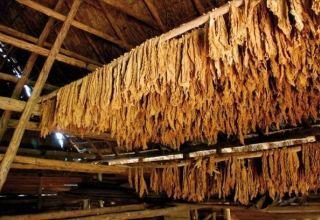 Azerbaijan to increase Virginia tobacco production