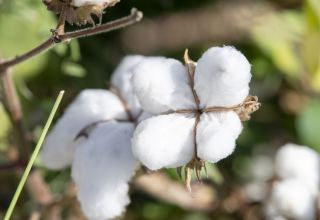 Cotton growing in Azerbaijan hits record - agriculture ministry