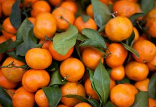 Georgian tangerines exports exceed preliminary forecasts