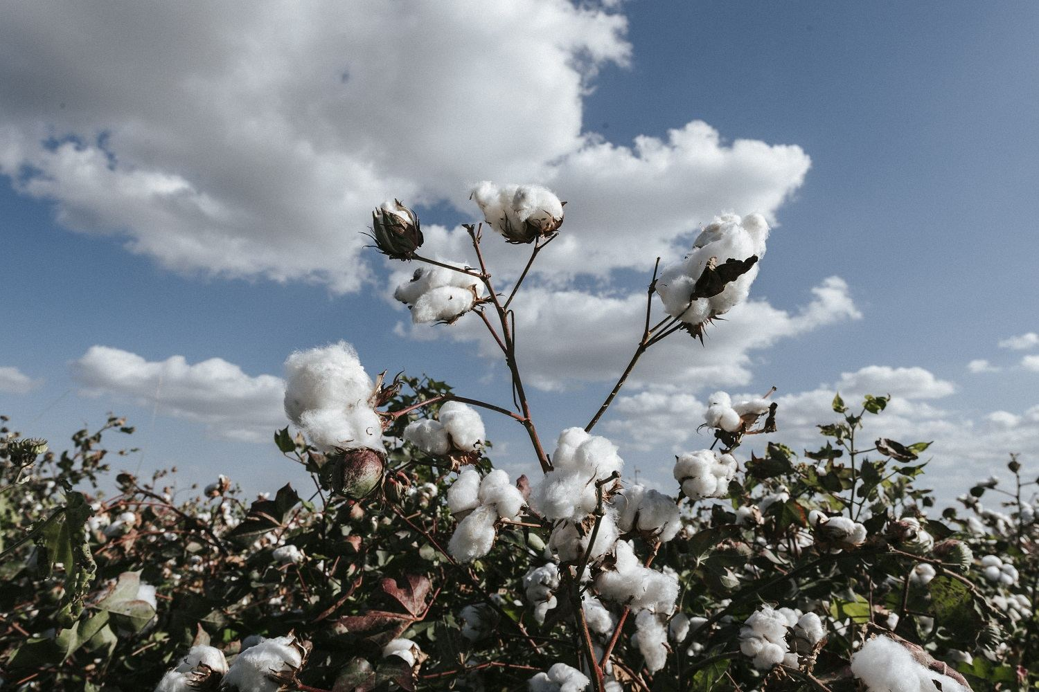 Turkmenistan taking measures to further increase volume of cotton production