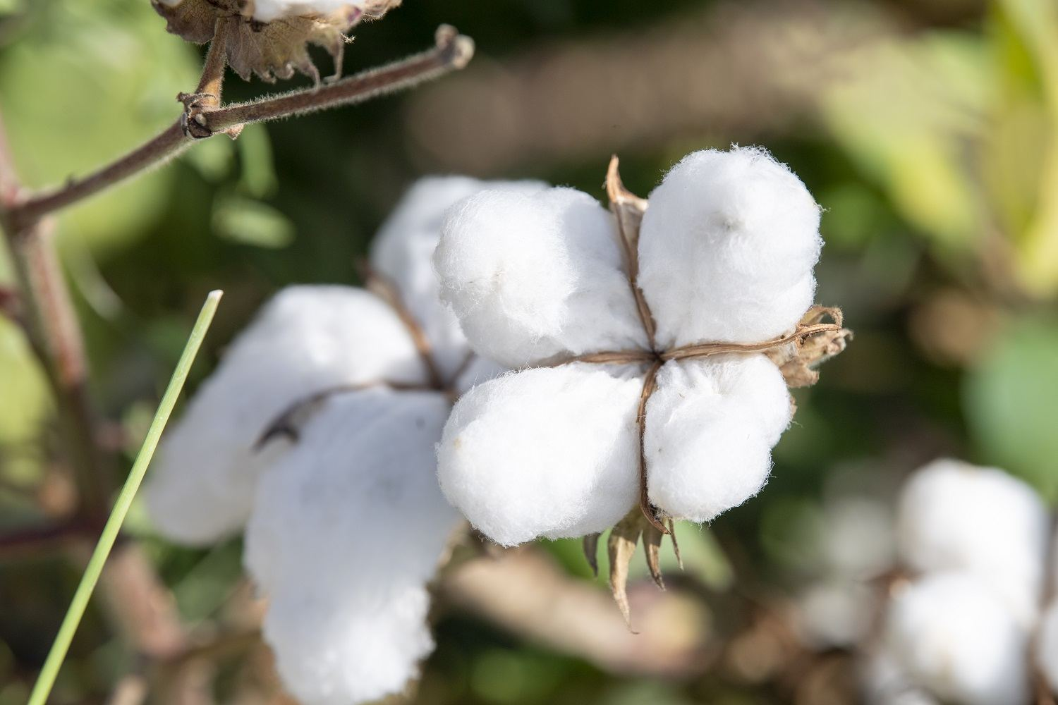 Share of cotton in total export of Azerbaijan increases