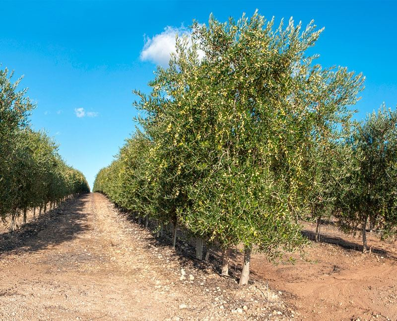 Iran to increase area of olive gardens