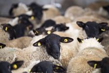 Azerbaijan imports several purebred sheep species from Europe (PHOTO) - Gallery Thumbnail