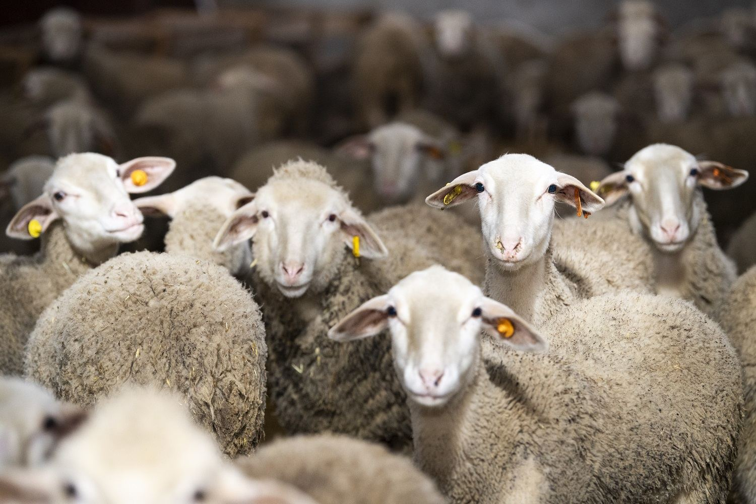 Azerbaijan imports several purebred sheep species from Europe (PHOTO) - Gallery Image