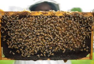 Iran to issue loans for dev't of beekeeping sector