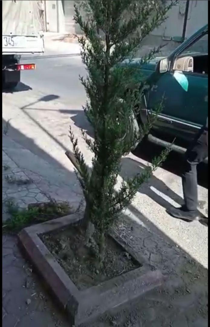 Bakıda bu ünvanda kəsilən ağacların yerinə yeniləri əkildi (FOTO/VİDEO) - Gallery Image