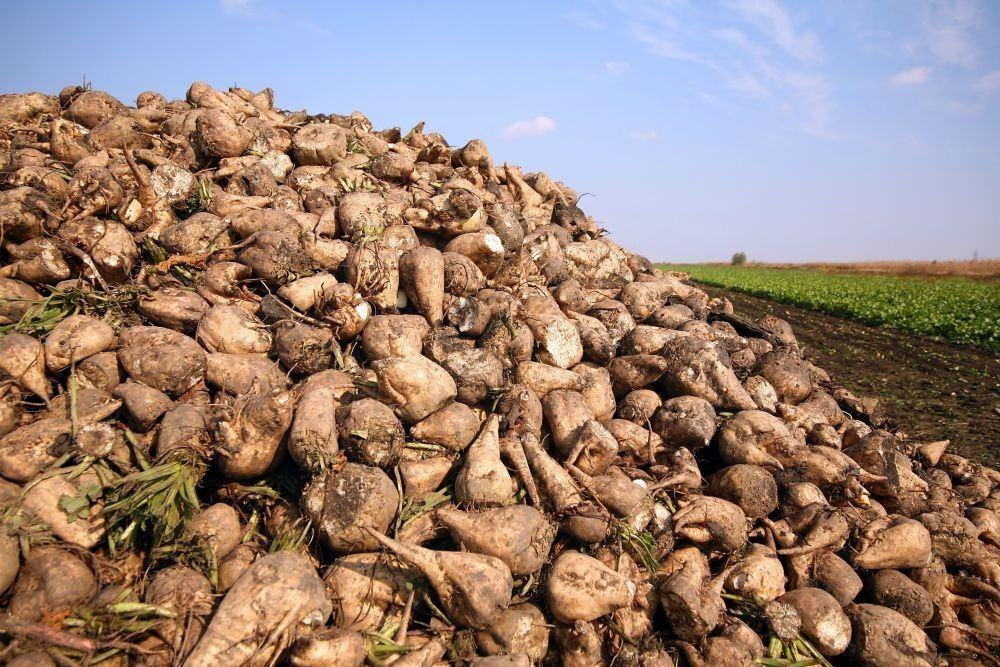 На освобожденной территории Физулинского района продолжается сбор урожая сахарной свеклы
