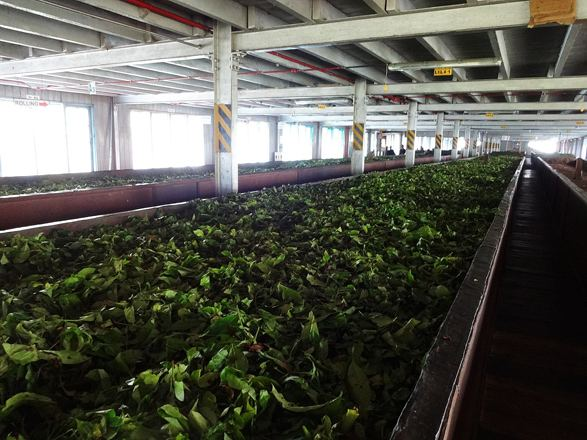 Kenya to launch tea processing plant in Iran