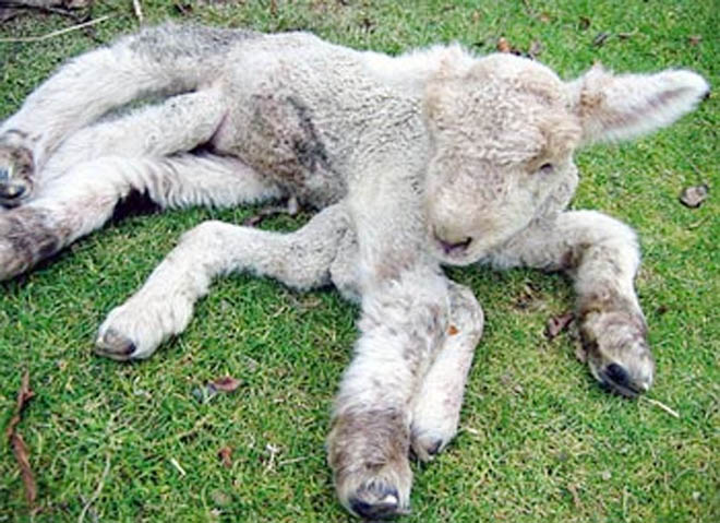 Photo: Six-legged bisexual lamb was born in Georgia / Georgia
