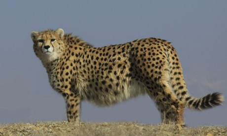 Photo: Fifth Iranian cheetah dies in less than a month / Society