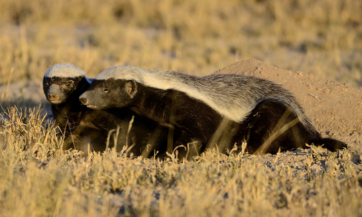 Photo: Threatened honey badger species killed in Iran savagely / Iran