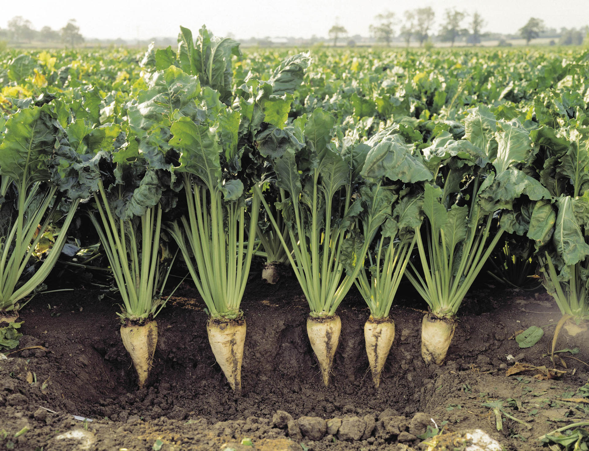 Turkmenistan completing sowing sugar beets