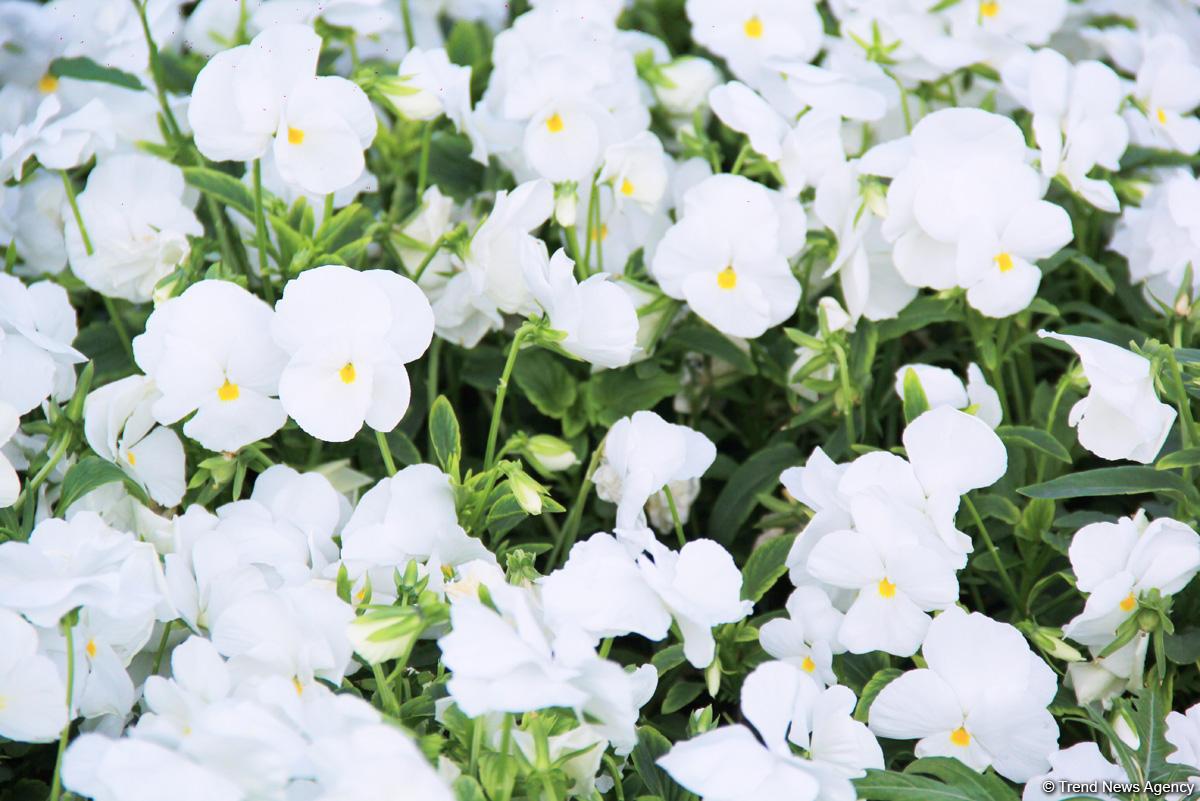 Бакинский бульвар в цветах – наслаждайтесь красотой! (ФОТО)
